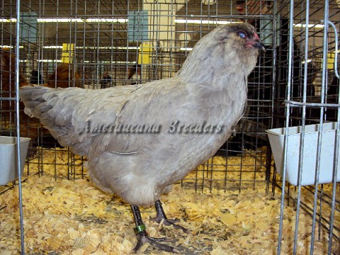 Ameraucana National 2012 BV Self-Blue Pullet