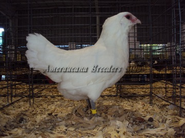 Ameraucana National 2014 BV White Hen