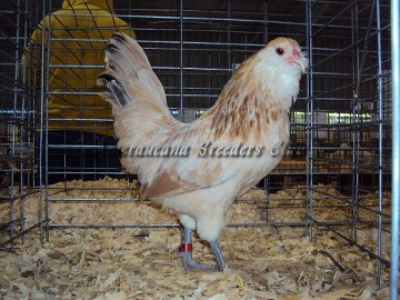 Ameraucana National 2014 RV Wheaten Pullet