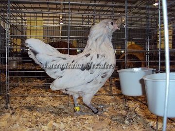Ameraucana National 2014 Junior BV Splash Pullet