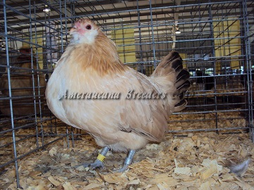 Ameraucana National 2014 Junior RV Wheaten Hen